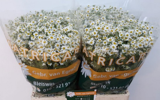 tanacetum-single-vegmo-van-egmond-matricaria.jpg